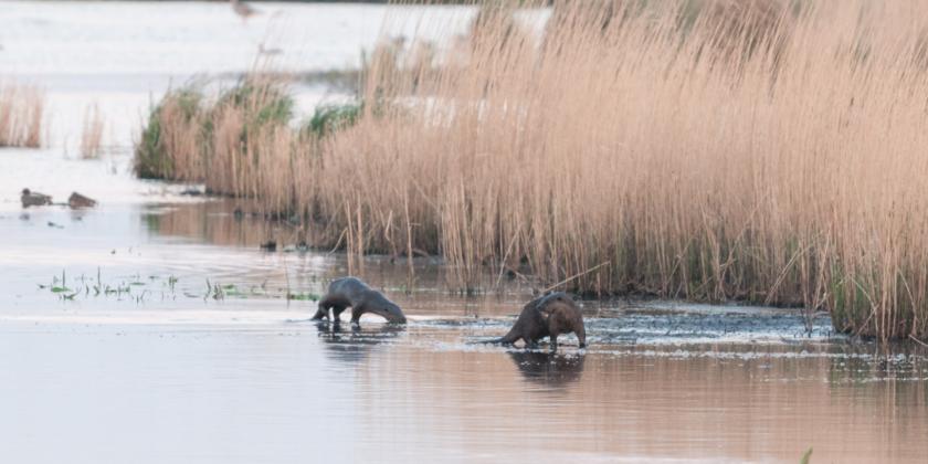 Otter in de regio van de Antitankgracht?